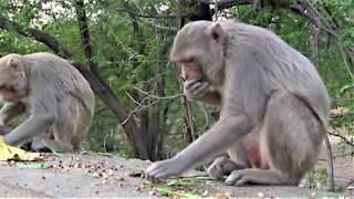 Monkeys stuff their faces with peanuts using impressive technique