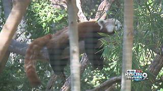 Red pandas to make debut at Reid Park Zoo - Video