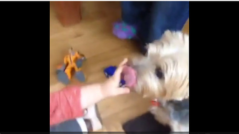Baby cracks up with doggy licks his hand