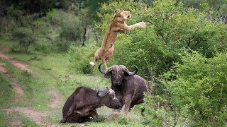Flying Lion: Buffalo Launches Predator Into The Air - Video