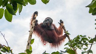 Orangutan rescued after threatening villagers - Video