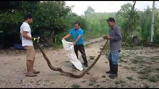 Huge python found wrapped around tree branch - Video
