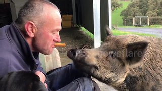 Teasing Bruce the pig with a tasty carrot - Video