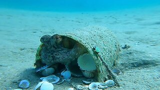 Obsessed Octopus Cleans Pesky Shells Away From His Home