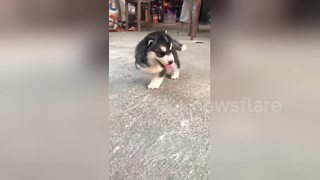 Adorable husky puppy born with three legs is now bounding along - Video