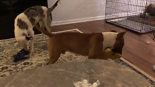 Dog loves to violently shake his toys
