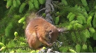 Bobtail baby squirrel - Video