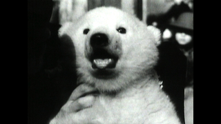 Classic Baby Polar Bear - Video