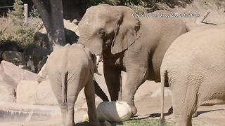 San Diego Zoo elephants munch on massive pumpkin - Video