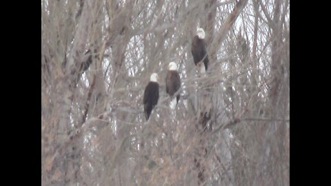 Massive amount of bald eagles gather in tree