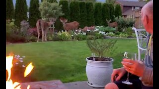Deer family joins dad & daughter around backyard campfire