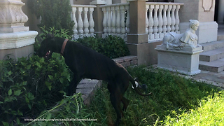 Funny Great Dane Helps With The Gardening  - Video
