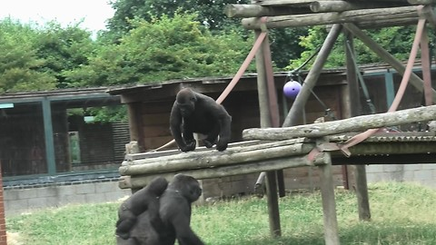 Cocky youngster playfully teases mama gorilla