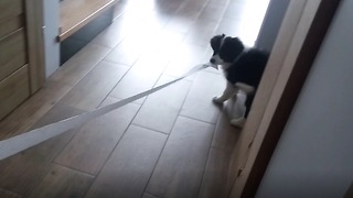 Border Collie puppy caught rolling out toilet paper across the home - Video