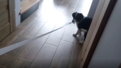 Border Collie puppy caught rolling out toilet paper across the home