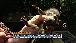 Fires driving wildlife into neighborhoods - Video