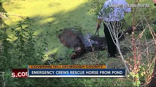 Rescue crews pull Kiersa the horse from thick mud in Hillsborough County - Video