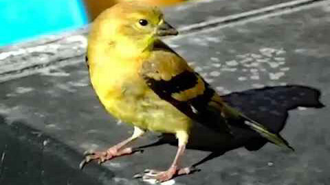 IECV NV #126 - 👀 American Goldfinch Juvenile Almost Touched 9-10-2015