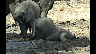 Baby elephant shoves entire face into the mud