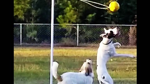 Great Dane service puppy & buddy have a blast with their tether-ball