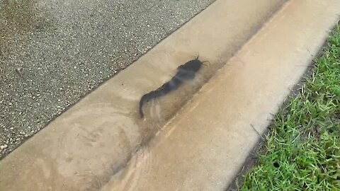 Catfish swims down flooded road in Florida