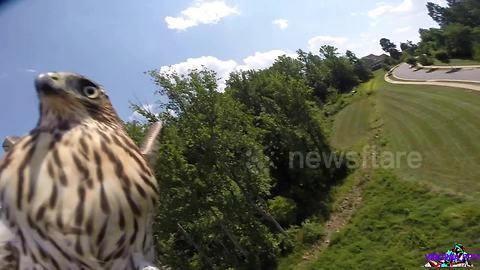 'Angry' hawk takes down drone