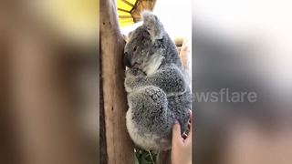 Watch a cute koala bear perk up its head and go right back to sleep while being petted - Video