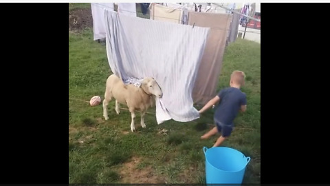 Sheep incredibly plays games with little boy