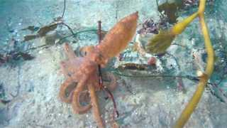 Colorful Octopus Blends into its Environment - Video