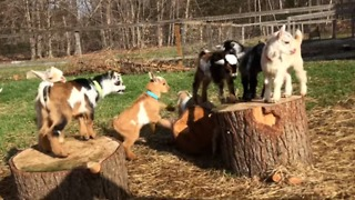 Baby Goats Jump for Joy After Going Outside for the First Time - Video
