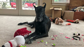 Great Dane farts on camera while playing with her toys