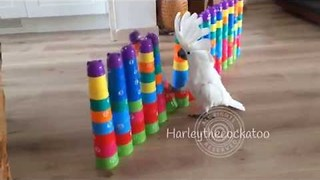 Rampaging Cockatoo Destroys Plastic Cup Towers - Video