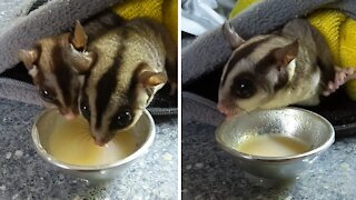Adorable little sugar gliders snack on nutritious treat