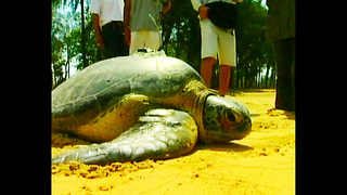 Injured Giant Turtle Released - Video