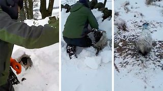 Un-baa-lievable! Farmer digs sheep out of five foot snow drift  - Video