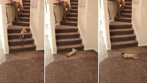 Pup-sy daisy! Adorable puppy trying to find its feet takes tumble down the stairs