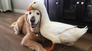 Dog And Duck Become Inseparable Best Friends   - Video