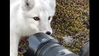 Arctic Fox Makes Friends With Photographer - Video