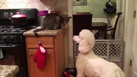 Dog and cat engage in hilariously epic stand-off