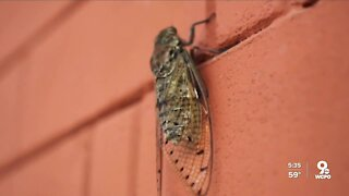 Nature experts offer tips to avoid cicadas while camping