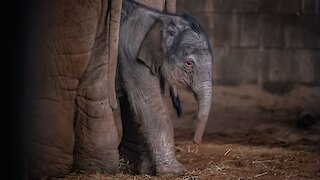 Zoo Captures Remarkable Moments After Elephant's Birth