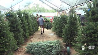 Tampa Bay Christmas tree vendors see highest demand in decades