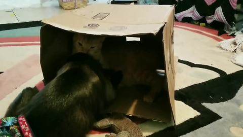 Monkey and cat battle for cardboard box dominance