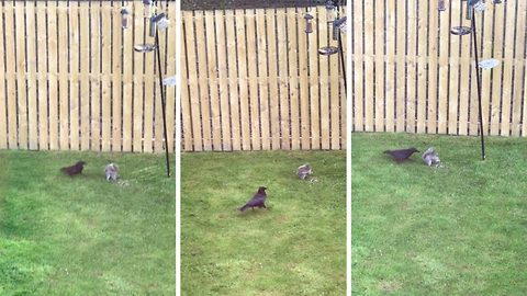 Driving him nuts! Squirrel and crow caught up in hilarious turf war over bird seed