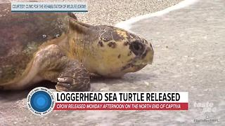 Loggerhead sea turtle released on Captiva - Video