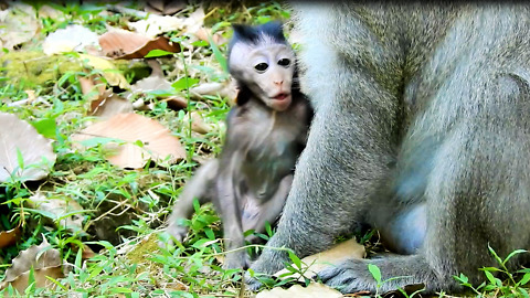 Baby Monkey Don't See Mother Go To Cry Near Papa