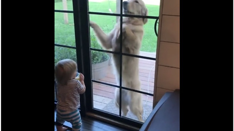 Laughing baby cracks up at Golden Retriever's antics