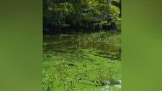 Highly toxic algae bloom found in Blue Cypress Lake in Indian River County - Video