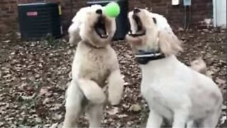 Dogs crash into each other midair while playing catch