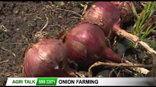 The Onion doctor - all about onion farming in Kenya - Agri Talk